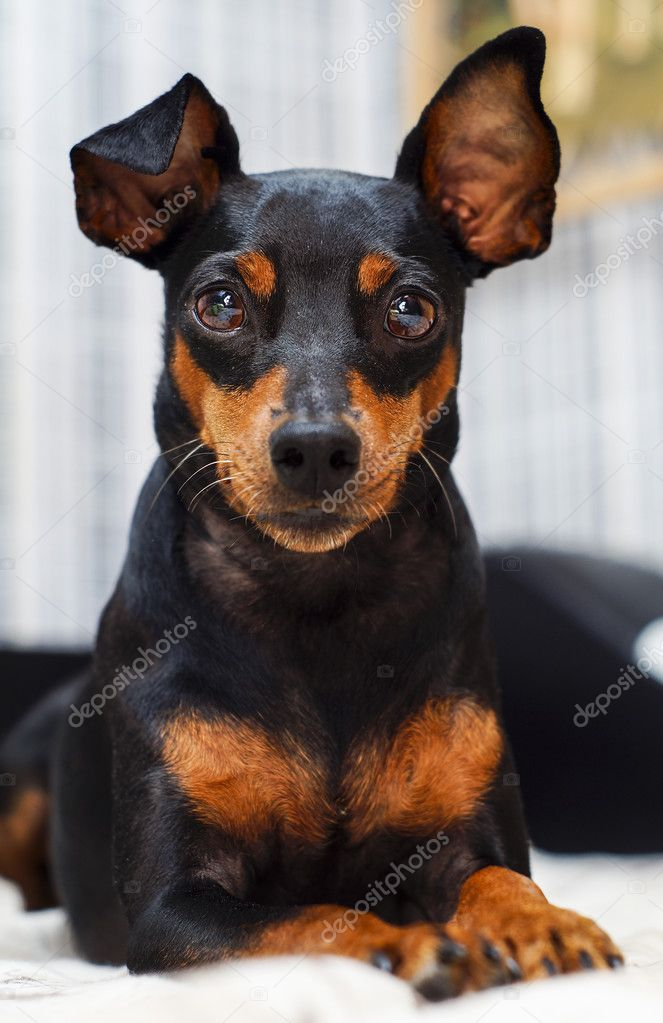 Small Dogs With Big Ears Breeds