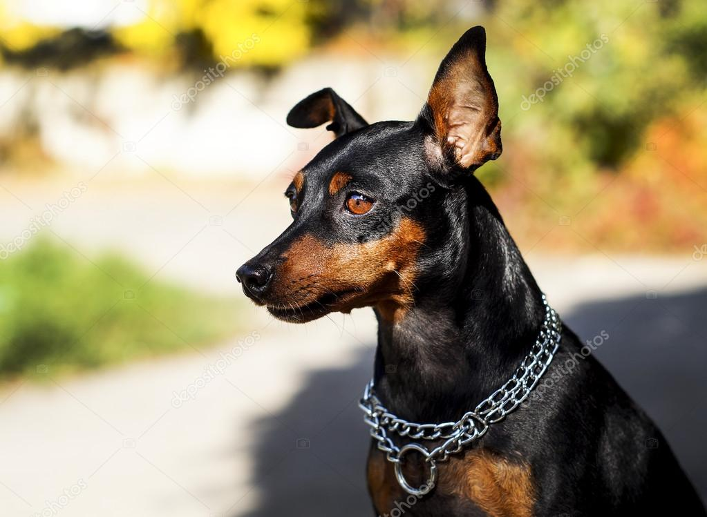 small black brown dog with chain around his neck is on a blurred background at autumn