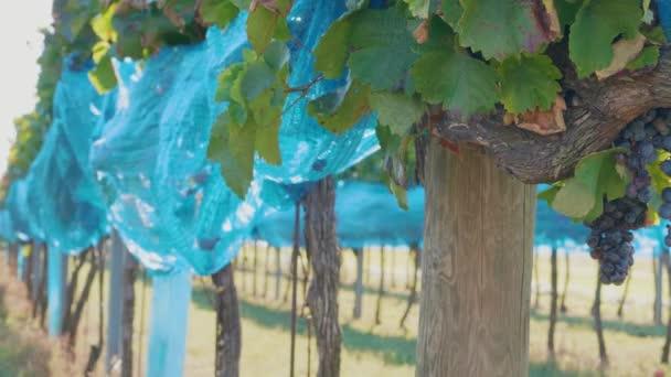 Vinice s tmavými hrozny pokrytými sítí na ochranu modrých ptáků. Ochrana vinic na farmě proti síťovinám. Ptačí klasy hroznů pod sítí ve vinařství před sklizní. Hromady těžkých zralých fialových vinných hroznů rostoucí v řadě, zelené listy