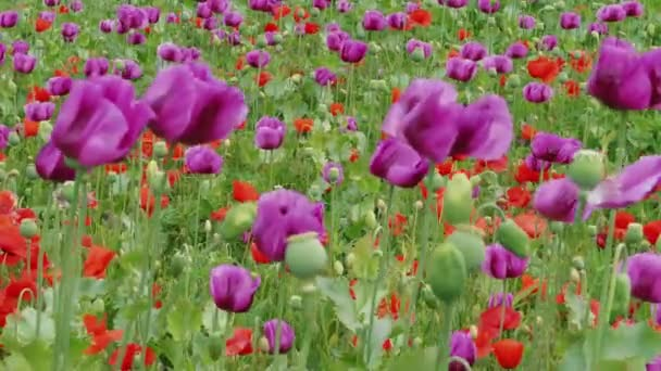 Purpurová a červená maková květina pole a nezralé zelené makové hlavy ve větru, zaměření na pozadí rostlin. Kvetoucí maková louka. Kvetoucí Papaver somniferum s makovými lusky. Spánek, sedativa, koncepce výběru. Mír, symbol smrti