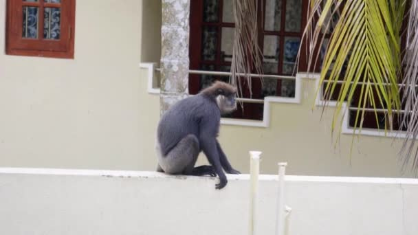 Opice na Srí Lance hotel běží na balkóně, zpomalení