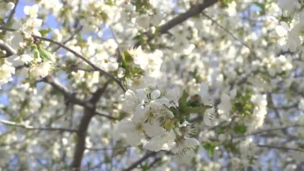 Spring, cherry tree blossoms with white flowers