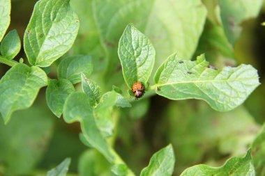 Lady beetle pupae sample