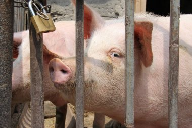 Pig Behind The Bars With Locker