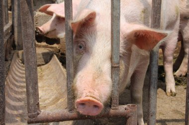 Pigs Life Behind The Bars
