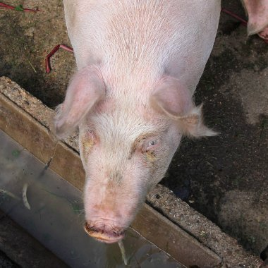 Pig drinking and eating