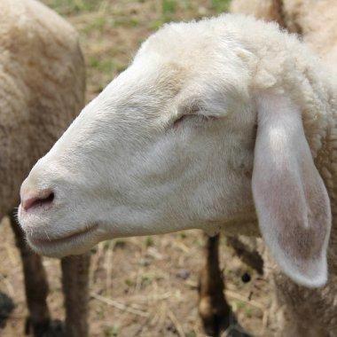 Sheep dreaming and eating