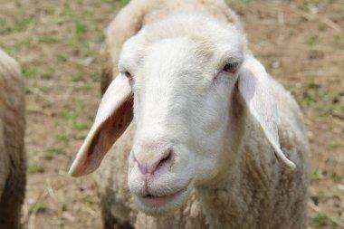 Sheep head frontal