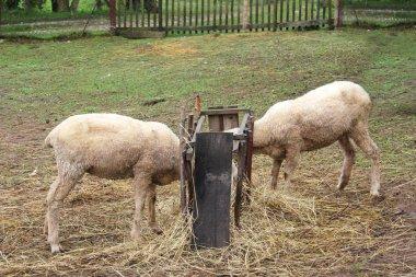 Sheep flock eating