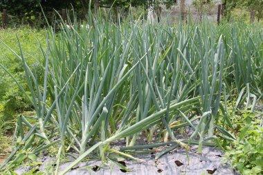 Spring Onion growing in organic garden
