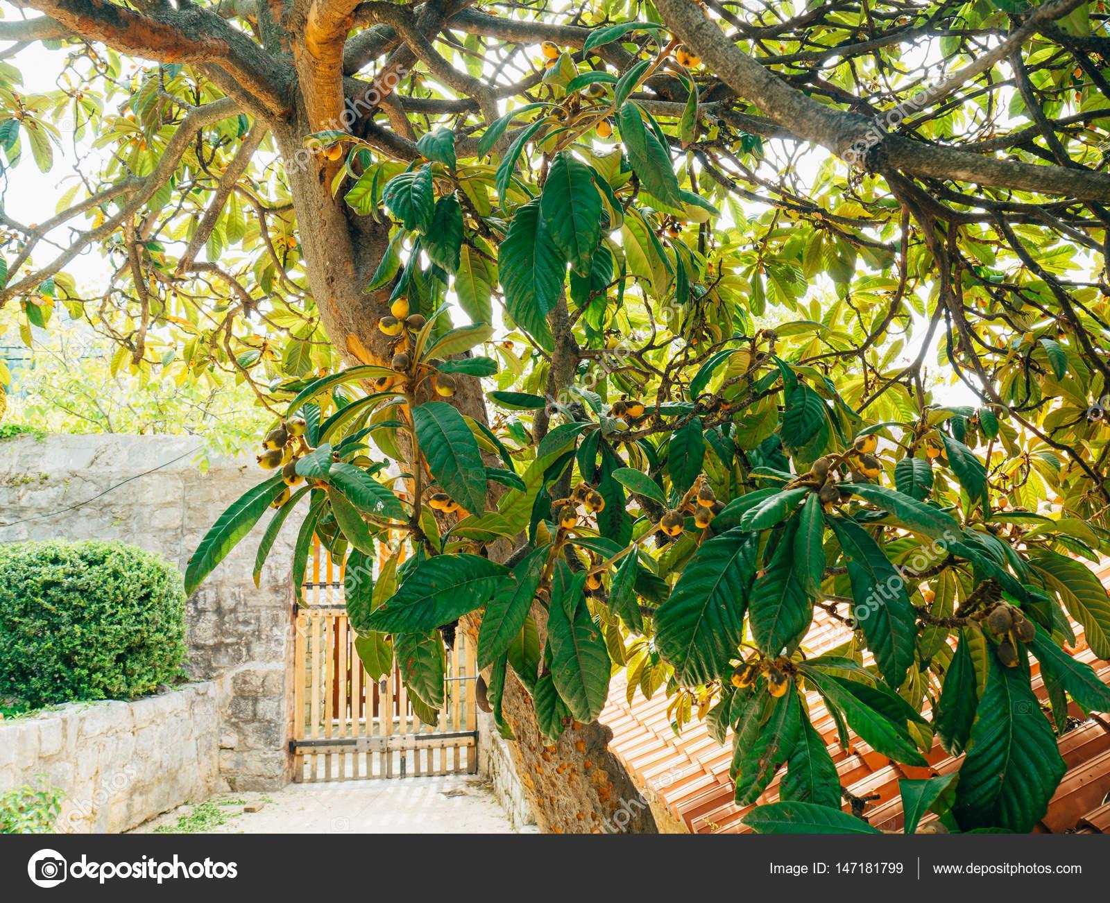 Planten En Bomen : Bladeren op de boom van de magnolia. planten en bomen in monteneg