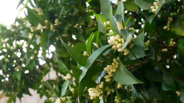 Blooming tree Tangerine. Montenegrin mandarin trees. Home tanger