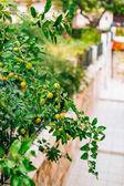 Az érlelés a fán a mandarin. Montenegrói mandarin fák. Ho