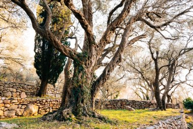 Close-up of the trunk of a tree of olives. Olive groves and gard