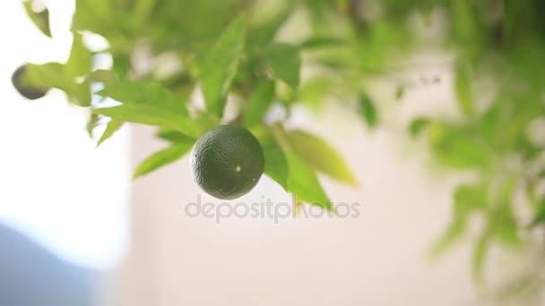 grüne Mandarinen auf einem Baum. unreife Mandarine. Montenegrinischer Mandari