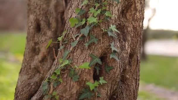 Detail kmen stromu oliv. Olivové háje a gard