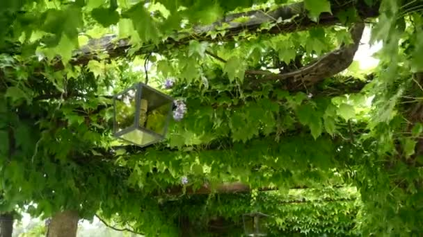 Vintage Lucerna v kvetoucí wistárie, Černá Hora.