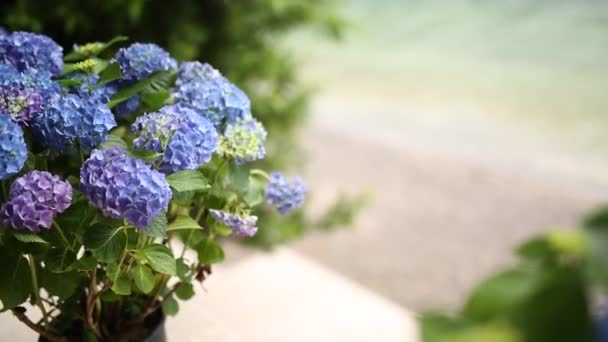 Blooming hydrangea on the streets