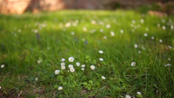 Blooming flowers daisies on green grass