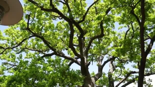 Zelené dubové listy na stromě. Zelené listí na stromě v léto.
