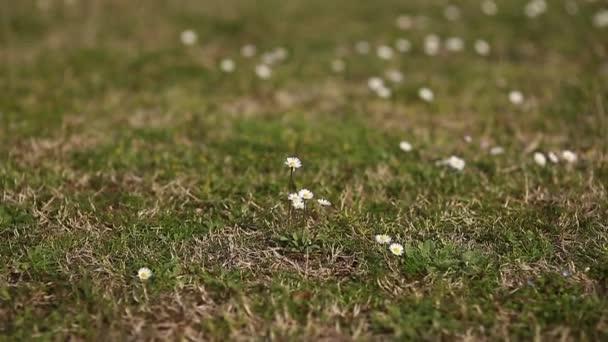 Rozkvetlé květy sedmikrásky