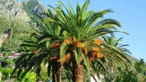 Dátum palm Montenegróban