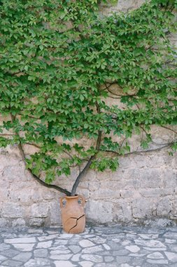 Parthenocissus quinquefolia grows from a clay pot. A stone building in Montenegro. Cracked old amphora.