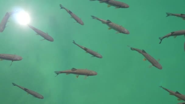 A flock of river fish, top view. Big fish swim in clean river entrance looking for food that tourists throw at them. Plitvice Lakes, Croatia