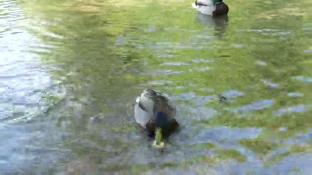 A turisták etetik Mallard kacsa kenyeret Plitvicei tavak egy nemzeti park Horvátországban. Közelkép a Plitvicei-tavakról