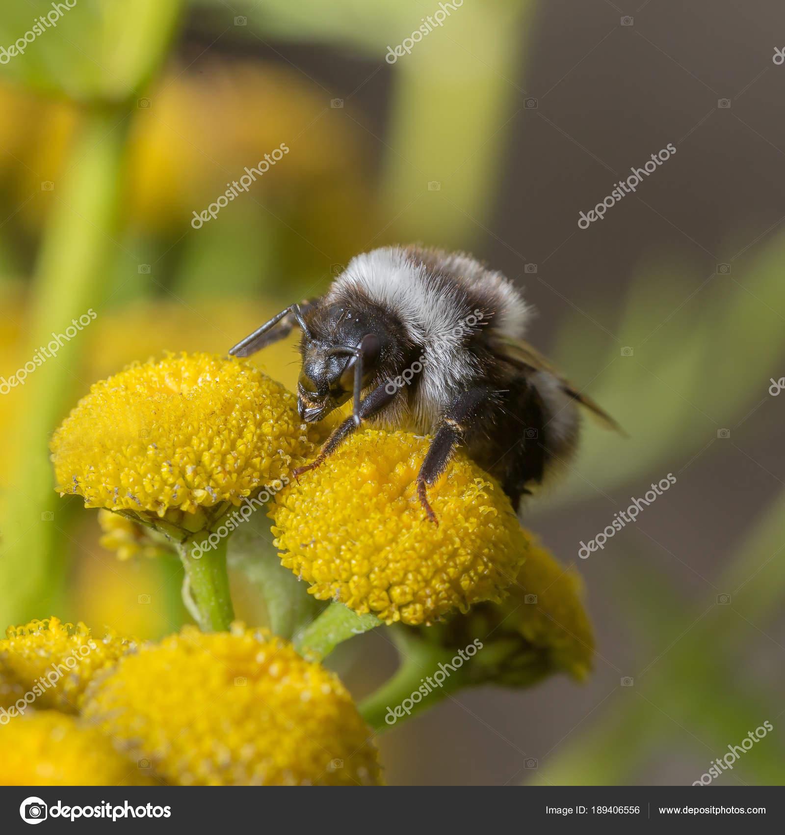 timeless design f0758 af073 Shaggy Hummel auf einer gelben Blume. — Stockfoto © ASB63 ...