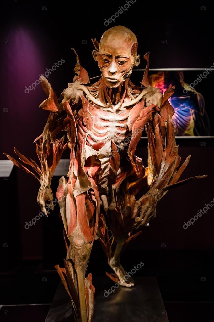 Plastinated cuerpo humano en pantalla — Foto editorial de stock ...