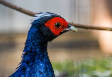 Male edwards's pheasant face in closeup, tropical bird from Vietnam, Critically endangered animal specie