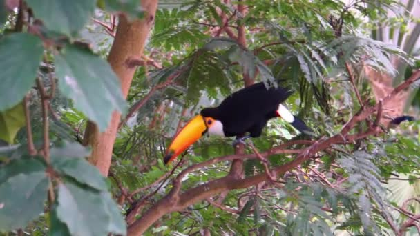 Toco toucan ül egy fán, körülnéz és elrepül, trópusi madárfaj Amerikából