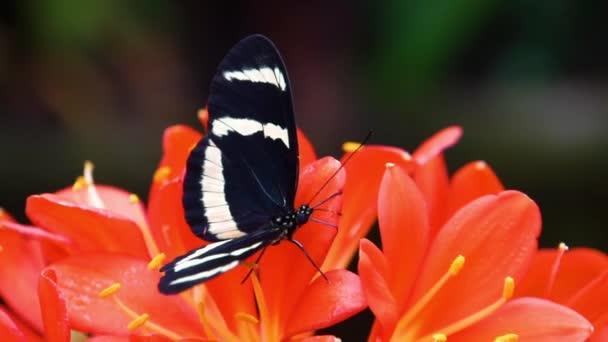 makro detailu hewitsonova dlouholetého motýla sbírajícího nektar z květu, tropického hmyzu z Kostariky, Amerika