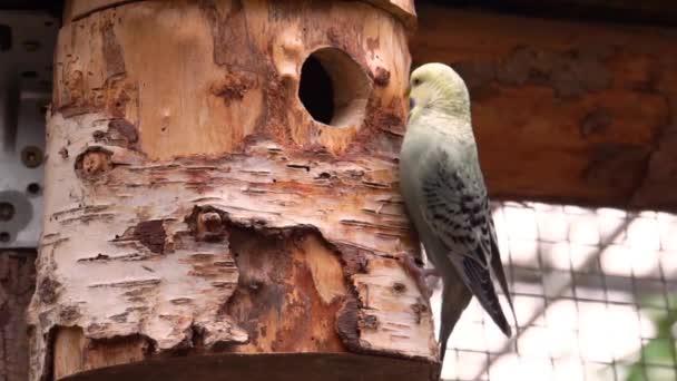 közelkép egy sárga arc papagáj papagáj a madarak fészke, trópusi madárfaj Ausztráliából