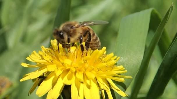 Honigbiene auf gelbem Löwenzahn
