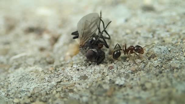 Ant a moucha