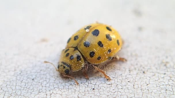 Yellow ladybug stretching its body and cleaning its front legs