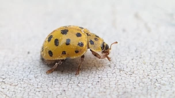 Yellow ladybug cleaning its front legs