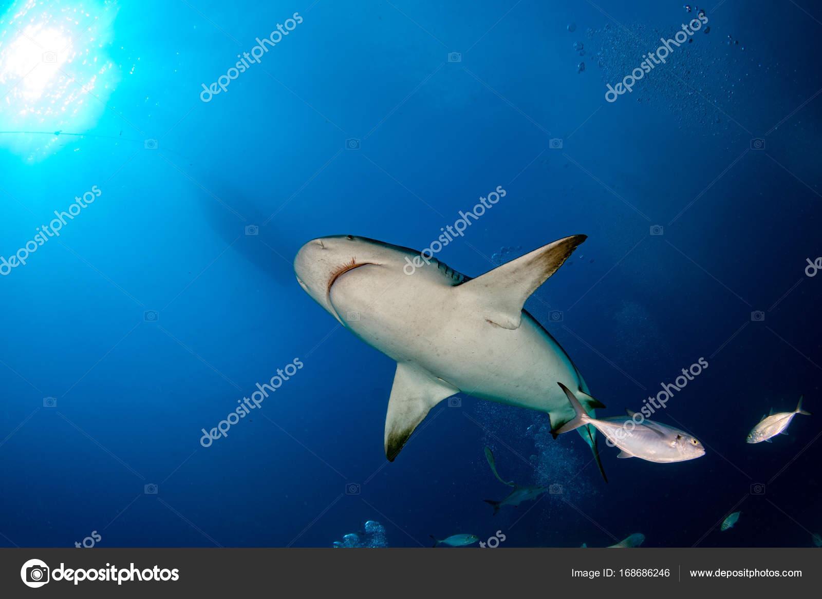 メジロザメ属のサメを供給しなが...