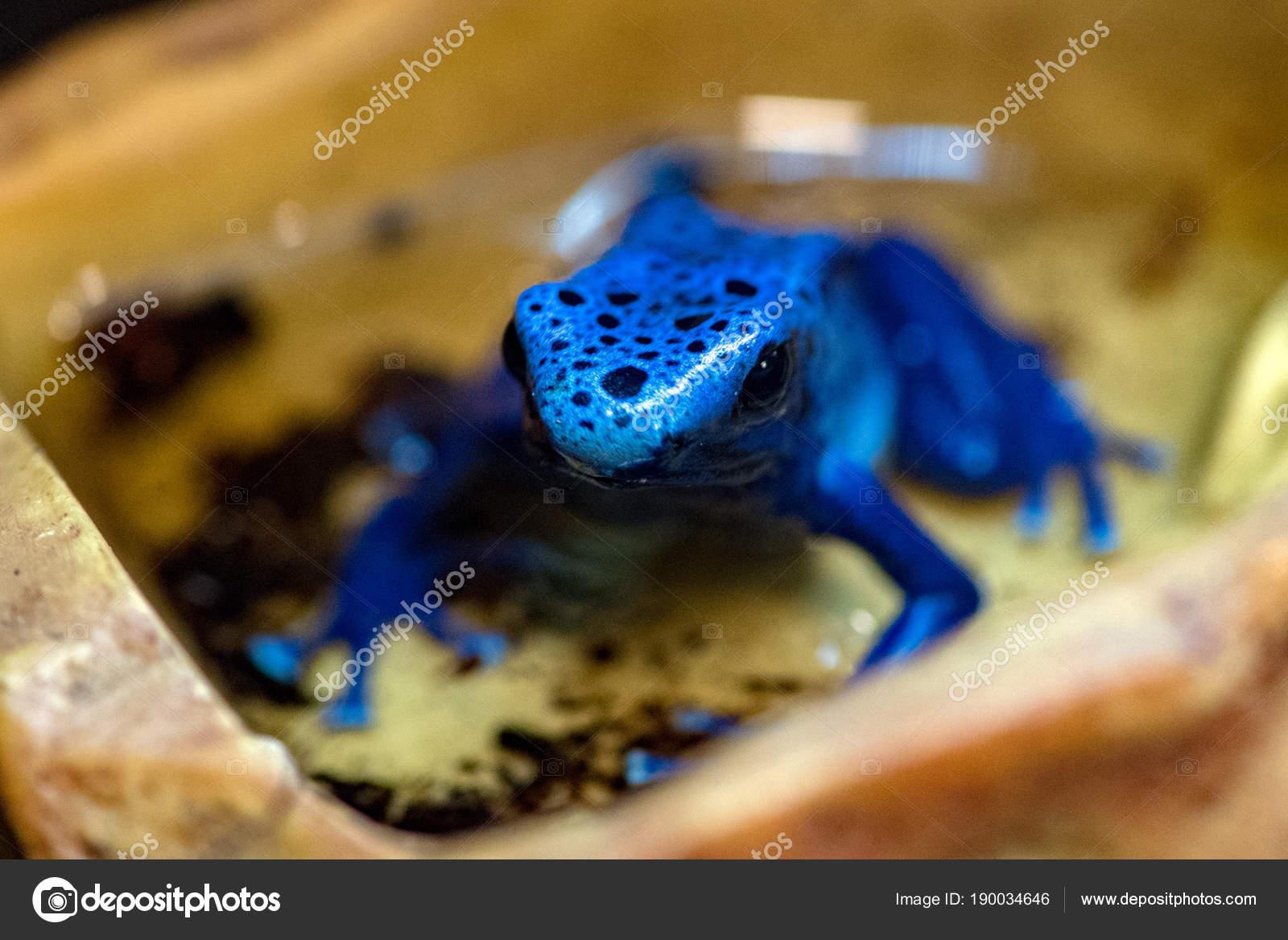 sterblichen vergiften Frosch blau färben — Stockfoto © izanbar ...