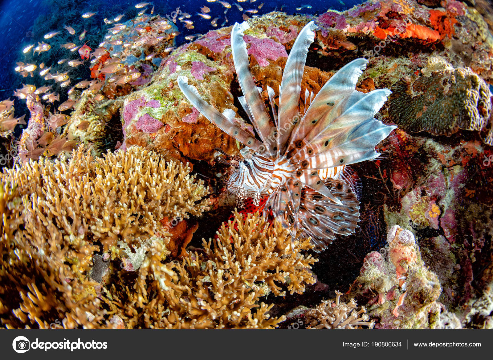 Akrep Aslan Balık Portre Süre Dalış Endonezya Stok Foto Izanbar