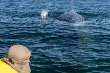 "Картина, постер, плакат, фотообои ""серый кит в нижней калифорнии "", артикул 333012846"