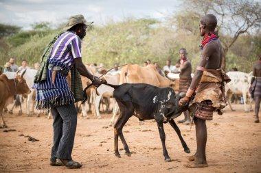 BMen preparing bulls for the bull Jumping ceremony, Ethiopia