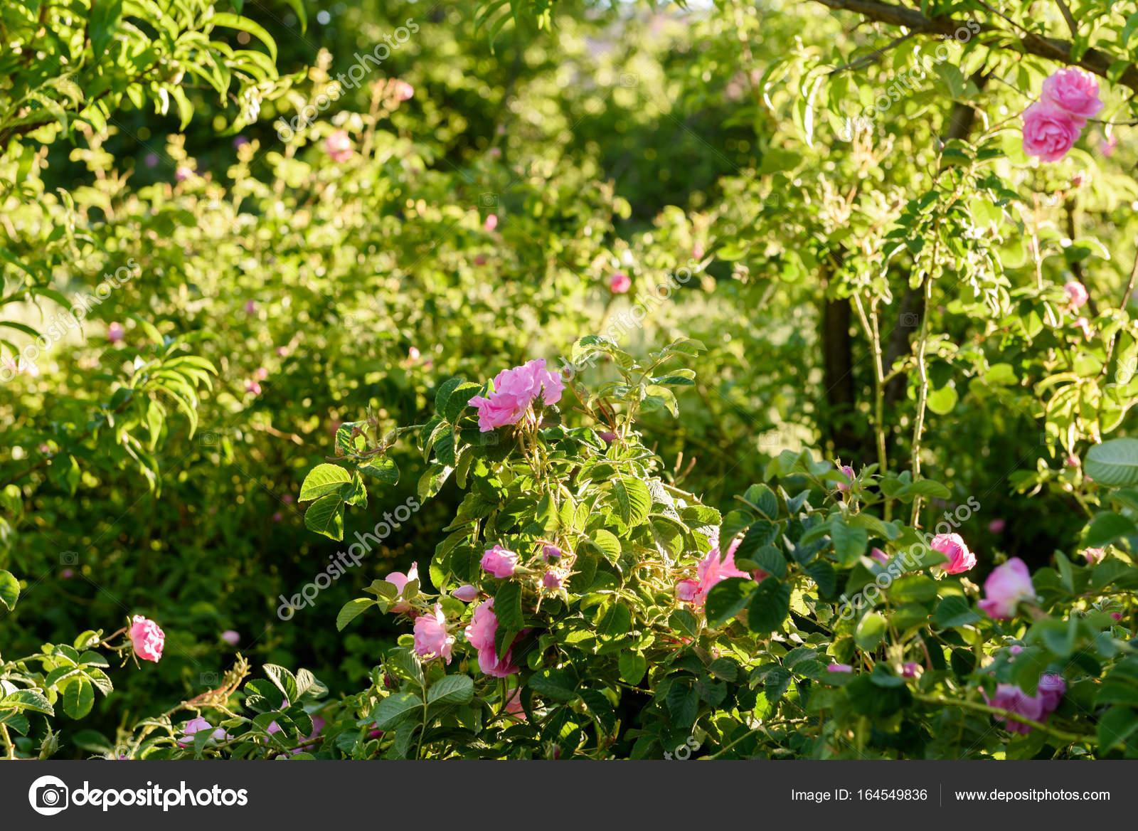 I giardini di rose a kalaat mgouna marocco u2014 foto stock
