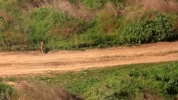 Red fox hledá kořist a běží na cestu v poli