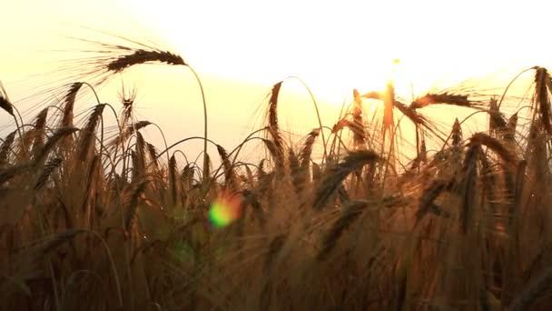 A sunbeam naplemente búza fülek