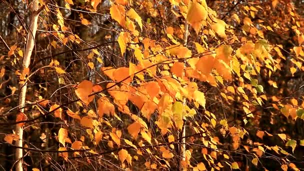 Yellow birch leaves in sunlight are swaying in wind