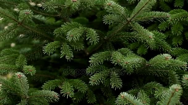 Evergreen Christmas tree use as background