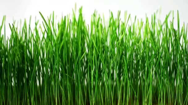 Germinated sprouts of wheat gently sways from light  wind on white background